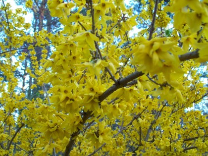 forsythiapinesbckgrnd
